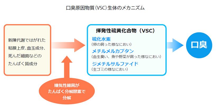 口臭原因物質(VSC)生体のメカニズム